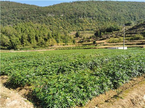 贵州花椒苗