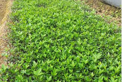 贵州花椒育苗